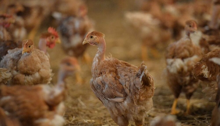 Bakanlık 3 Yeni GDO'lu Tavuk Yemine Onay Verdi