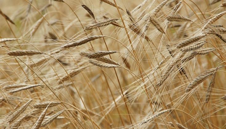 Yüzyılın Sonunda Buğday Tarlalarının Yüzde 60'ı Yok Olacak
