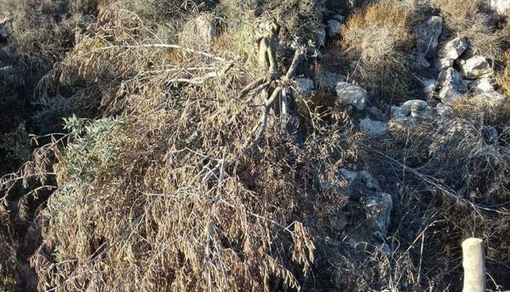 Siyonistler Zeytin Ağaçlarına Göz Dikti